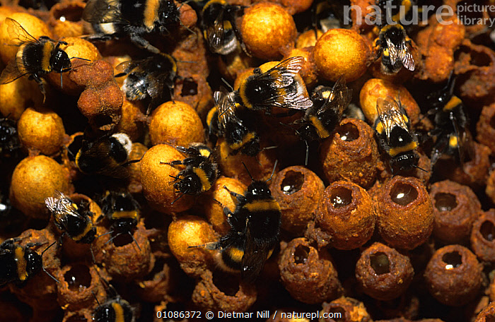 Bumble bees Bombus terrestris} worker bees exposed in nest tending to colony, Germany  ,  BEES,BEHAVIOUR,BUMBLEBEES,EGGS,EUROPE,GERMANY,GROUPS,HYMENOPTERA,INSECTS,INVERTEBRATES,NESTS,PUPAE  ,  Dietmar Nill