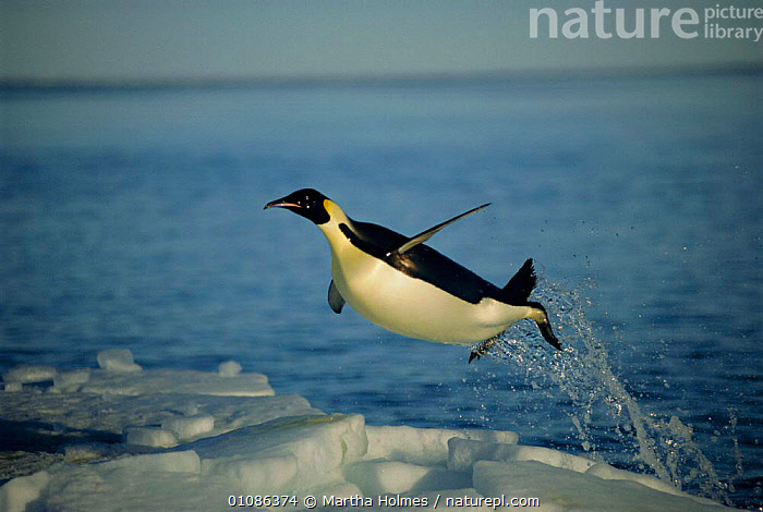 Emperor penguin flying out of water {Aptenodytes forsteri} Cape Washington, Antarctica.  ,  BLUE,PLANET,ICE,JUMPING,PENGUINS,ACTION,HUMOUROUS,BLUE PLANET,AMUSING,BIRDS,FLIGHTLESS,SEA,SNOW,COLD,LEAPING,SEABIRDS, Seabirds,Catalogue1  ,  Martha Holmes