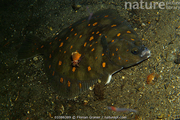 Plaice fish {Pleuronectes platessa} and Hermit crab Josenfjord, Norway  ,  ATLANTIC,COMMERCIAL,CRAB,CRUSTACEANS,EDIBLE,EUROPE,FGR,FISH,FJORD,HERMIT,HORIZONTAL,MARINE,MIXED SPECIES,NORWAY,SCANDINAVIA,SEA,SEABED,TEMPERATE,UNDERWATER,INVERTEBRATES, Scandinavia, Scandinavia, Scandinavia, Scandinavia  ,  Florian Graner