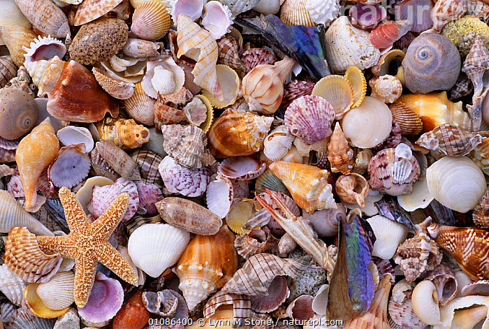 Mixed sea shells on beach, Sarasata, Florida, USA  ,  ABSTRACT,BEACHES,COLOURFUL,LS,MIXED,MIXED SPECIES,MOLLUSCS,SEASHELL,SHELL,SHELLS,INVERTEBRATES,USA,North America  ,  Lynn M Stone