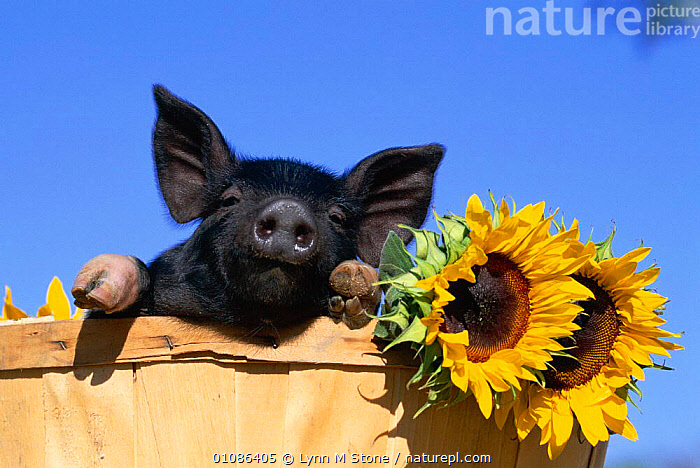 Piglet (mixed breed) in barrel with sunflower  ,  BABIES,BLACK,CUTE,FLOWERS,HORIZONTAL,LS,PIGLET,SUNFLOWER,YELLOW  ,  Lynn M Stone