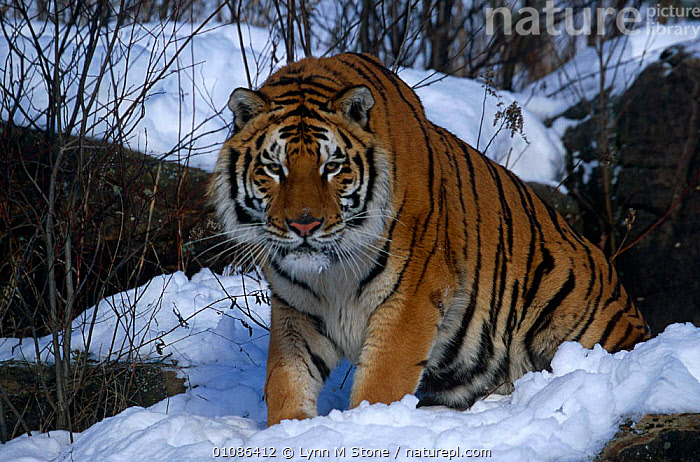 Siberian tiger in snow {Panthera tigris altaica} Captive  ,  BIG CATS,CARNIVORES,ENDANGERED,MAMMALS,TIGERS  ,  Lynn M Stone