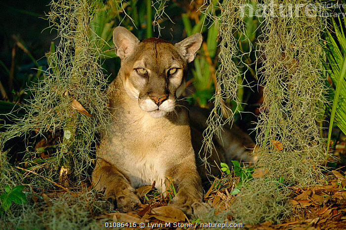 Florida panther portrait {Felix concolor} captive Florida, US  ,  ENDANGERED,CARNIVORES,FELIX,WETLANDS,MAMMALS,USA,NORTH AMERICA  ,  Lynn M Stone