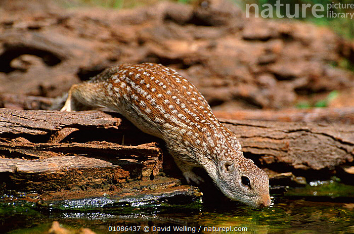 Mexican ground squirrel drinking {Spermophilus mexicanus} Texas, USA, North America  ,  DRINKING,DW,HORIZONTAL,MAMMALS,RODENTS,SPOTS,SPOTTED,USA,NORTH AMERICA  ,  David Welling