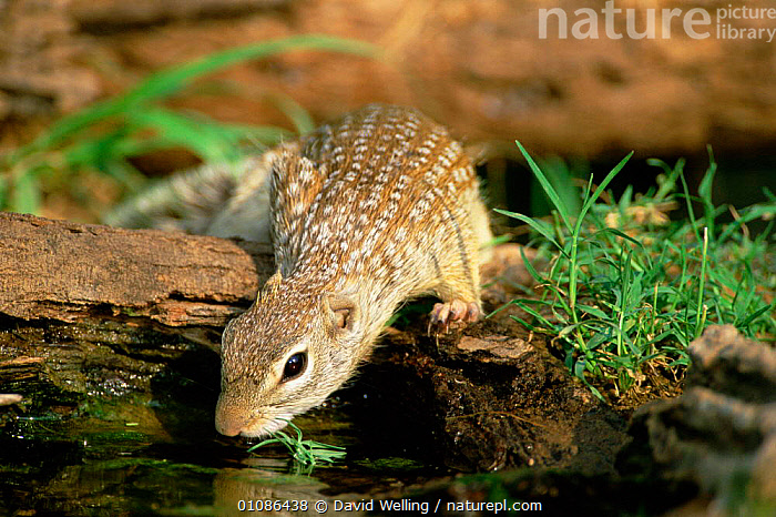 Mexican ground squirrel drinking {Spermophilus mexicanus} Texas, USA.  ,  USA,MAMMALS,RODENTS,North America  ,  David Welling
