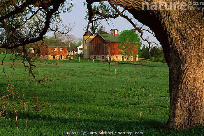 Bur oak tree {Quercus macrocarpa} in farmland infront of barn and buildings, Wisconsin, USA  ,  BUILDINGS,FARMLAND,farms,fields,LANDSCAPES,NORTH AMERICA,TREES,USA,Plants  ,  Larry Michael