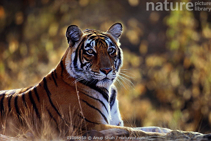Bengal tigress resting {Panthera tigris tigris} India Ranthambhore NP, Rajasthan. Noorjahan  ,  AS,BIG CATS,CARNIVORES,ENDANGERED,EYES,FACES,FEMALES,HEADS,INDIA,INDIAN SUBCONTINENT,MAMMALS,NOORJAHAN,NP,PORTRAIT,PORTRAITS,PROFILE,RANTHAMBHORE,RESTING,STRIPES,THREATENED,TIGERS,ASIA,NATIONAL PARK  ,  Anup Shah
