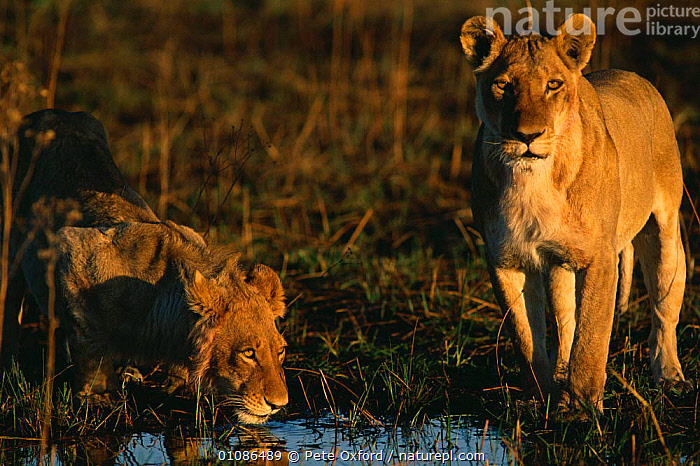 Lions drinking {Panthera leo)  ,  AFRICA,BIG,CARNIVORES,DRINKING,HORIZONTAL,MAMMALS,TWO,LIONS,BIG CATS  ,  Pete Oxford