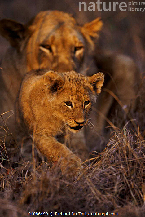 Lioness with two-month cub (Panthera leo) Phinda South Africa  ,  AFRICA,BABIES,BABY,CARNIVORES,CUB,LIONESS,MAMMALS,MOTHER,PORTRAITS,RDT,VERTICAL,LIONS,BIG CATS  ,  Richard Du Toit