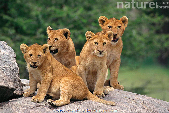 Four lion cubs (Panthera leo) Serengeti, Tanzania Africa  ,  AFRICA,BABIES,BIG,CATS,CUBS,CUTE,EAST AFRICA,FOUR,MAMMALS,MW,SAVANNA,SERENGETI,GRASSLAND,LIONS,BIG CATS,,Serengeti National Park, UNESCO World Heritage Site,  ,  Mike Wilkes