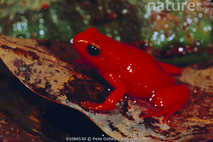 Golden mantella frog {Mantella aurantiaca} Perinet Reserve, Madagascar - leaf litter  ,  GROUND,AMPHIBIANS,PORTRAITS,FLOOR,DEAD,COLOURFUL,LEAVES,FROGS,TROPICAL RAINFOREST,RED,Anura  ,  Pete Oxford