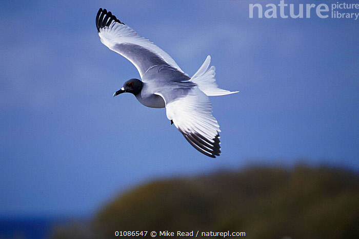 Swallow tailed gull in flight {Creagrus furcatus} Galapagos  ,  BIRD,BIRDS,FLYING,GALAPAGOS,GULL,HORIZONTAL,MRE,ONE,OUTSTANDING,SEABIRDS,SEAGULL,SEAGULLS,SWALLOWTAIL,TAIL,WINGS,GULLS  ,  Mike Read