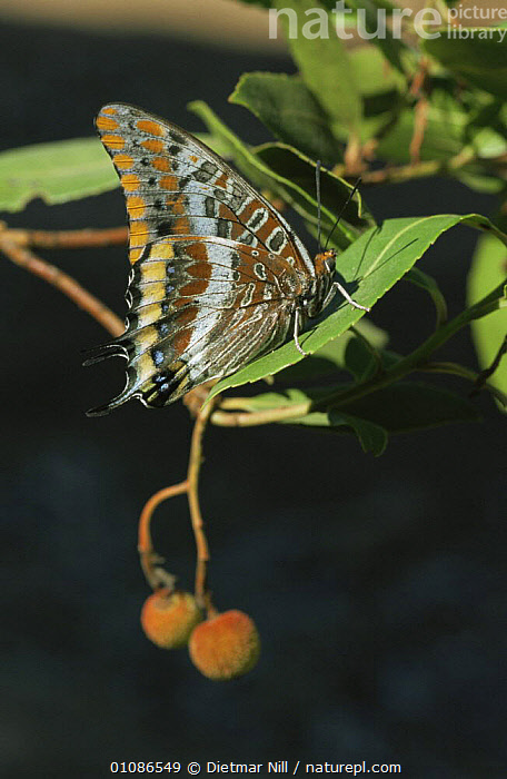Two tailed pasha butterfly {Charaxes jasius} on leaf, Sardinia  ,  ARTHROPODS,BUTTERFLIES,EUROPE,INSECTS,INVERTEBRATES,ITALY,LEPIDOPTERA,PATTERNS,TAILS,VERTICAL  ,  Dietmar Nill