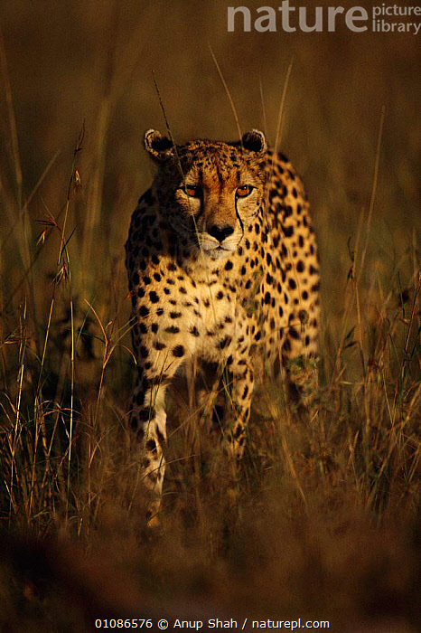 Cheetah walking through long grass {Acinonyx jubatus} Masai Mara, Kenya  ,  AFRICA,AS,BIG CATS,CARNIVORES,EAST AFRICA,GRASS,KENYA,MAMMALS,MARA,MASAI MARA,RESERVE,SAVANNA,SHAH,VERTICAL,WALKING,GRASSLAND,PLANTS  ,  Anup Shah