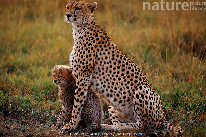 Cheetah mother sitting with cub {Acinonyx jubatus} Masai Mara, Kenya  ,  AFRICA,AS,BABIES,BIG CATS,CARNIVORES,EAST AFRICA,FAMILIES,HORIZONTAL,KENYA,MAMMALS,PROTECTION,PROTECTIVE,SAVANNA,SHAH,SPOTS,GRASSLAND  ,  Anup Shah