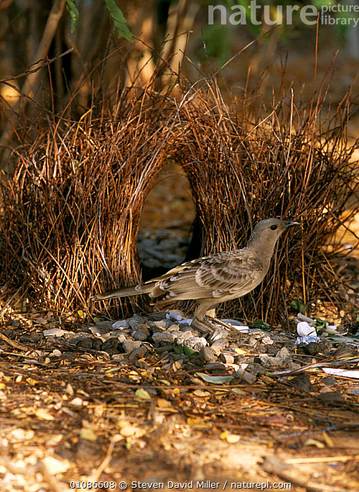 Great grey bowerbird male at bower {Chlamydera nuchalis} Lake Argyle, Western Australia  ,  AUSTRALIA,BIRDS,BOWERBIRDS,COURTSHIP BEHAVIOUR,HOMES,INTERESTING,MALES,VERTEBRATES,VERTICAL  ,  Steven David Miller