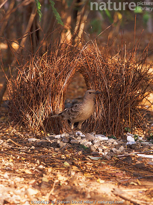 Great grey bowerbird male at bower built to attract female {Chlamydera nuchalis} Western Australia  ,  AUSTRALIA,BIRD,BIRDS,BOWERS,CONSTRUCTION,COURTSHIP,GRAY,HOMES,INTERESTING,MAKING,MALE,MATING BEHAVIOUR,ONE,SDM,VERTICAL,REPRODUCTION  ,  Steven David Miller