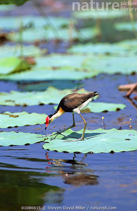 Lotusbird walking on lily pads {Irediparra gallinacea} Fogg Dam, Northern Territory, Australia  ,  AUSTRALIA,BIRDS,JACANAS,LEAVES,TROPICAL,VERTEBRATES,VERTICAL,WADERS,WADING,WATER,WETLANDS  ,  Steven David Miller