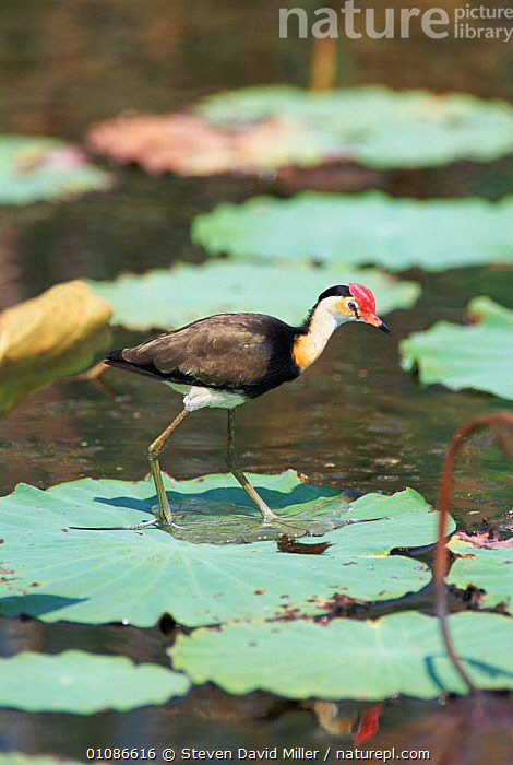 Lotusbird, aka Comb crested jacana, {Irediparra gallinacea} walking on lily pads, Fogg Dam, Northern Territory Australia  ,  AUSTRALIA,BIRD,BIRDS,COMB,CRESTED,JACANA,LEAVES,LILY,ONE,PADS,PROFILE,SDM,VERTICAL,WALKING,WETLANDS  ,  Steven David Miller