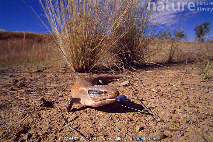 Northern blue tongued skink {Tiliqua scincoides intermedia} flashing tongue in warning display,  Kimberley, Western Australia  ,  SKINKS,AUSTRALIA,COMMUNICATION,DESERTS,DISPLAY,HORIZONTAL,LIZARDS,REPTILES,SDM,STEVEN,TONGUES,WARNING, Skinks  ,  Steven David Miller