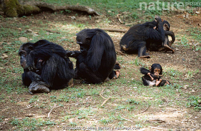 Chimpanzee group {Pan troglodytes} adults allo grooming, baby playing by itself, Gombe NP, Tanzania, East Africa  ,  ACTION,AFRICA,BABIES,BEHAVIOUR,CHIMPS,CUTE,EAST AFRICA,ENDANGERED,FAMILIES,GREAT APES,GROOMING,GROUPS,INTERACTION,MAMMALS,PRIMATES,SOCIAL,VERTEBRATES  ,  Miles Barton