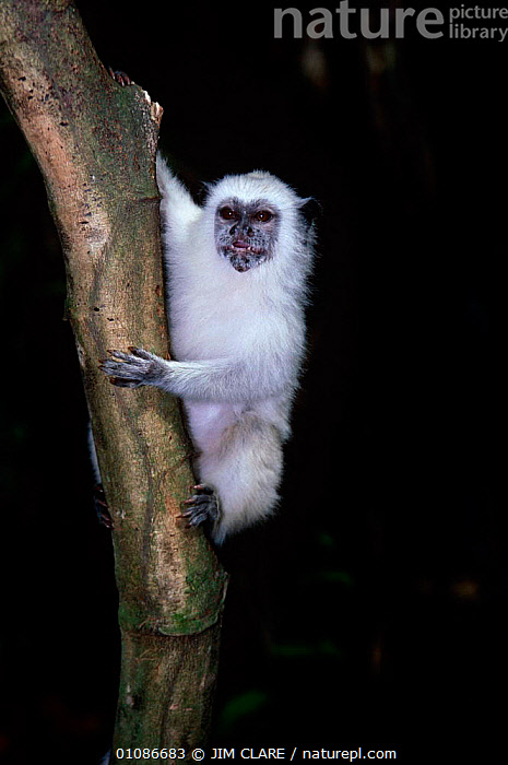 White tamarin {Saguinus sp} climbing tree at night, Amazonia, Brazil  ,  MAMMALS,NOCTURNAL,PRIMATES,SOUTH AMERICA,TAMARINS,TROPICAL RAINFOREST,VERTEBRATES,VERTICAL,Marmosets  ,  JIM CLARE