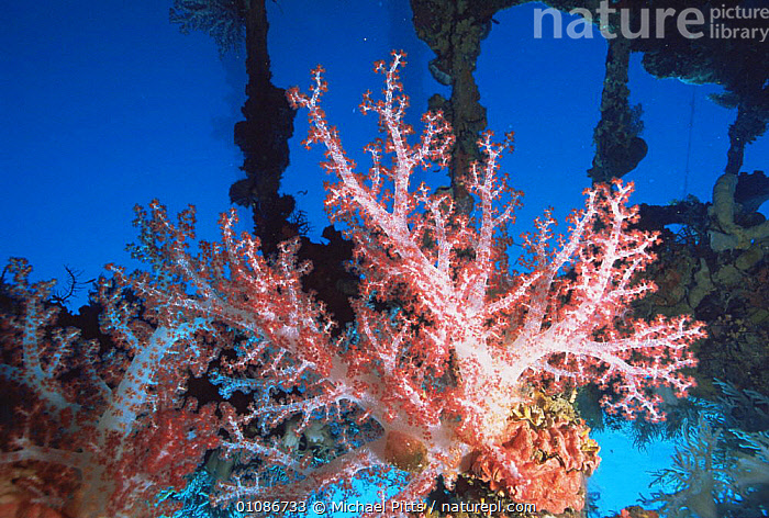 Soft coral {Dendropnephthya sp} growing on a Japanese World War Two shipwreck in Truk Lagoon, Micronesia  ,  ANTHOZOANS,ARTIFICIAL,BOATS,CNIDARIANS,CORAL REEFS,CORALS,INVERTEBRATES,MARINE,OCEANIA,PACIFIC OCEAN ISLANDS,SOFT CORALS,UNDERWATER,WRECK,WRECKS, Cnidaria  ,  Michael Pitts