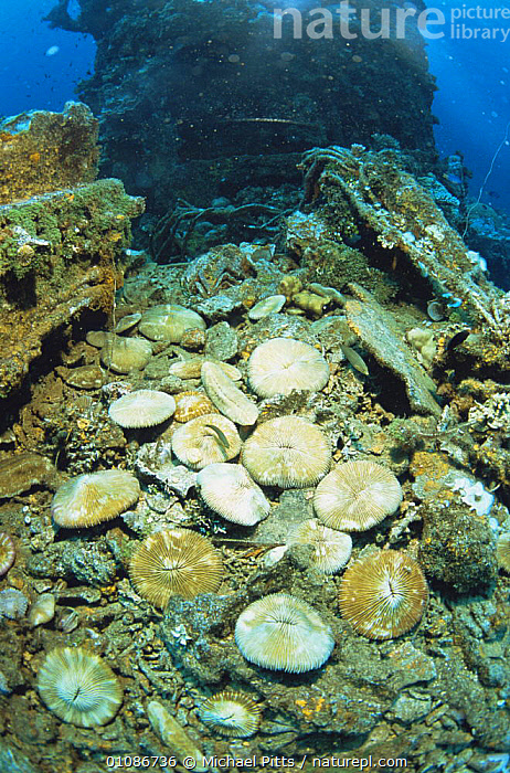 Mushroom corals (Alcyonacea) growing on Japanese World Wat Two shipwreck in Truk Lagoon, Micronesia  ,  ANTHOZOANS,ARTIFICIAL,BOATS,CNIDARIANS,CORAL REEFS,CORALS,INVERTEBRATES,MARINE,OCEANIA,PACIFIC OCEAN ISLANDS,SOFT CORALS,UNDERWATER,VERTICAL, Cnidaria, Cnidaria, Cnidaria  ,  Michael Pitts