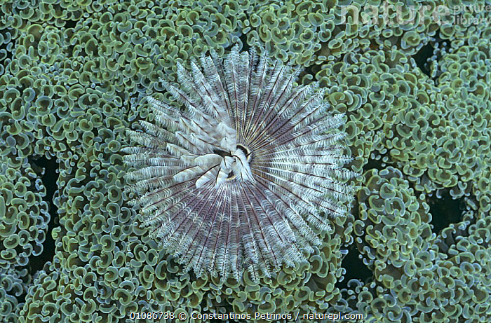 Tube worm (Sabellidae) on hard coral (Euphyllia ancora) Sulawesi  ,  ANNELIDS, ANTHOZOANS, CORAL-REEFS, indo pacific, INDONESIA, INVERTEBRATES, MARINE, MIXED-SPECIES, POLYCHAETES, TROPICAL, tropics, TUBE WORMS, UNDERWATER, WORMS,Asia  ,  Constantinos Petrinos
