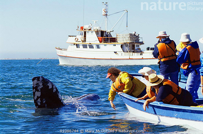 Tourists stroking Grey whale {Eschrichtius robustus} San Ignacio, Mexico  ,  BOATS,CENTRAL AMERICA,CETACEANS,COASTS,HORIZONTAL,MAMMALS,MEXICO,PEOPLE,TOURISM,VERTEBRATES,WHALES,CENTRAL-AMERICA  ,  Mary McDonald