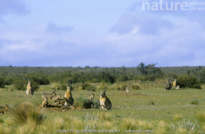 Patagonia cavies / Mara {Dolichotis patagonum} with pups at burrows, Argentina  ,  CAVIES,FAMILIES,GROUPS,HOMES,LANDSCAPES,MAMMALS,RODENTS,SOUTH AMERICA,VERTEBRATES  ,  RHONDA KLEVANSKY