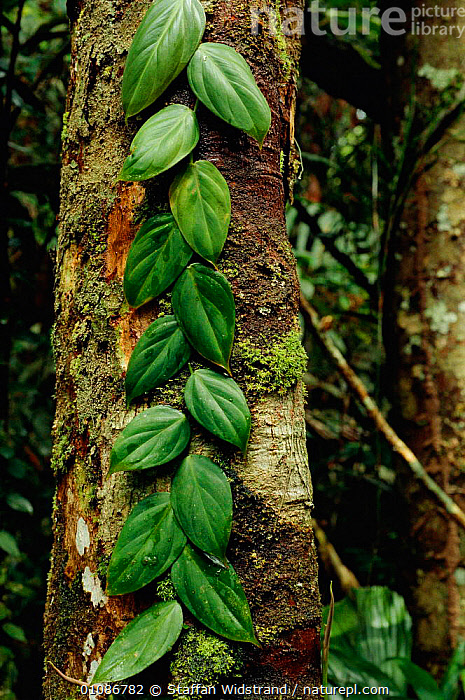 Leaves of climbing plant growing up tree, tropical rainforest, Brazil.  ,  AMERICA,BRAZILIAN,CLIMBERS,GREEN,LANDSCAPES,PLANTS,SOUTH,TREES,TROPICAL RAINFOREST,VERTICAL,WET,SOUTH-AMERICA  ,  Staffan Widstrand