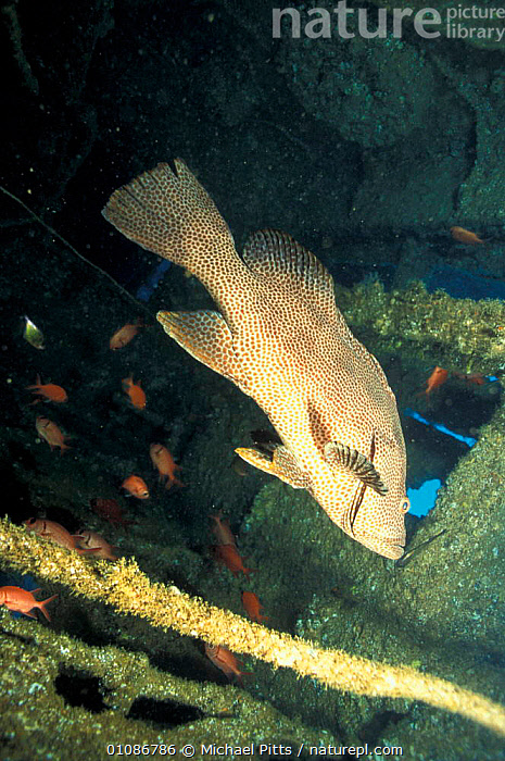 Brown spotted grouper inside wreck {Epinephelus chlorostigma} Solomon Is, Pacific japanese  ,  GROUPERS,PACIFIC OCEAN,FISH,TROPICAL,AMERICAN,WARPLANES,MARINE,OCEANIA,UNDERWATER,BOATS  ,  Michael Pitts