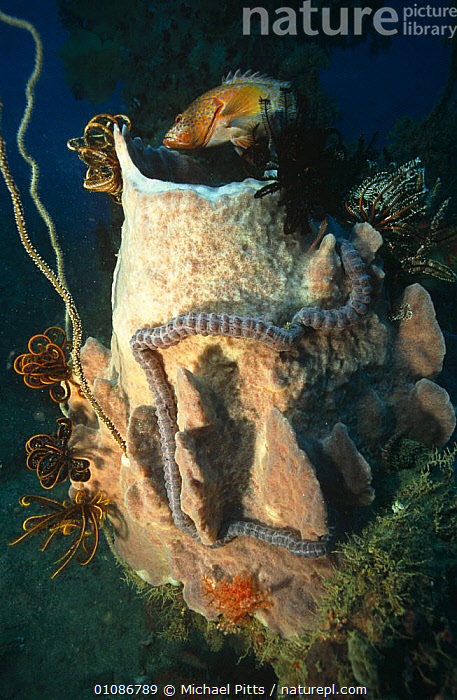 Sponges, fish, and worms on an artificial coral reef that has developed on the wreck of a Japanese ship sunk in World War Two. Solomon Islands, Pacific  ,  ANNELIDS,CORAL REEFS,FISH,INVERTEBRATES,MARINE,MIXED SPECIES,PACIFIC,PACIFIC OCEAN ISLANDS,SPONGES,TROPICAL,UNDERWATER,VERTICAL,WORMS,Anthozoans, Cnidaria, Cnidaria, Cnidaria, Cnidaria  ,  Michael Pitts