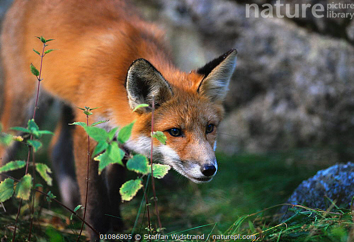 Red fox {Vulpes vulpes} captive Lycksele Zoo, Sweden  ,  CANIDS,CARNIVORES,EUROPE,FOXES,MAMMALS,Dogs  ,  Staffan Widstrand