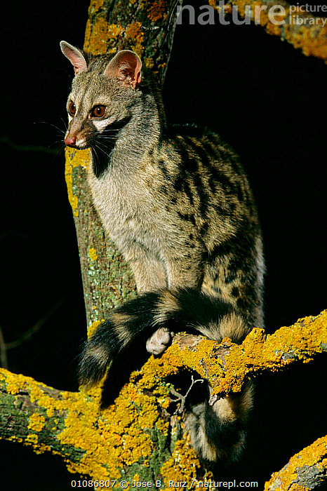 Small spotted genet sitting in tree {Genetta genetta} Spain  ,  FACES,TAILS,EUROPE,EYES,VERTICAL,ALERT,PORTRAITS,MAMMALS,GENETS,NIGHT,CARNIVORES,DARK,SPOTS,Civets  ,  Jose B. Ruiz