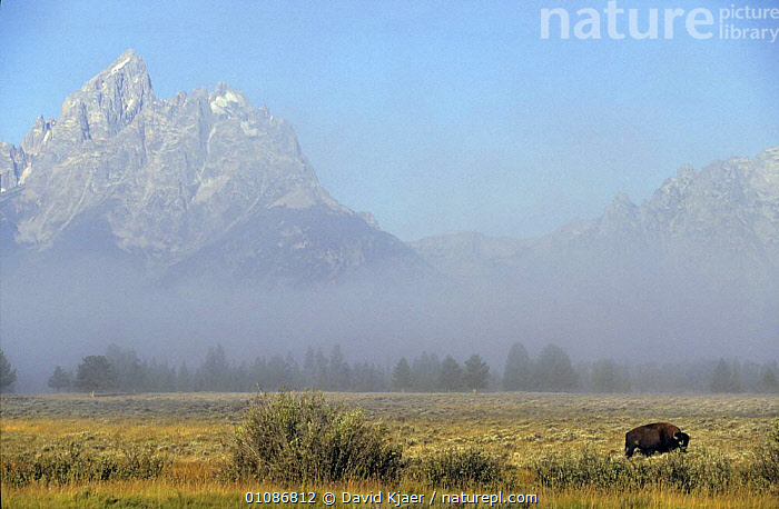 Misty landscape with Bison {Bison bison} Yellowstone NP, Wyoming, USA  ,  ARTIODACTYLA,BOVIDS,BUFFALOS,DRAMATIC,GROUPS,LANDSCAPES,MAMMALS,NP,USA,VERTEBRATES,North America,National Park,Cattle  ,  David Kjaer