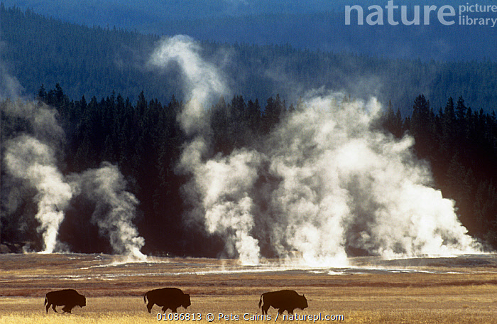 Landscape with Bison {Bison bison} and steam from geysers, Yellowstone NP, Wyoming, USA  ,  animals in the wild,ARTIODACTYLA,backlit,BOVIDS,BUFFALOS,CATALOGUE2,CATTLE,DRAMATIC,Following,forest,GEOTHERMAL,Geyser,GROUPS,Journey,LANDSCAPES,MAMMALS,Nobody,NP,on the move,outdoors,RESERVE,small group of animals,steam,THREE,three animals,USA,VERTEBRATES,WALKING,woodland,wyoming,Yellowstone National Park,Geology,National Park,North America  ,  Pete Cairns