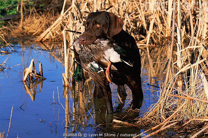 Brown / Chocolate Labrador retriever with duck in mouth -  working dog retrieving USA  ,  CARNIVORES,DOG,DUCK,GUNDOG,LABRADOR,LS,MAMMALS,PETS,RETRIEVER,RETRIEVING,USA,WATERFOWL,WETLANDS,WORKING,NORTH AMERICA,DOGS,CANIDS  ,  Lynn M Stone