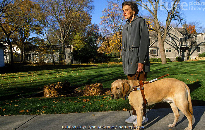 Golden labrador retriever dog working as guide dog to blind person  ,  BLIND,CANIDS,CARNIVORES,DISABILITY,DOGS,MAMMALS,PEOPLE,PETS,VERTEBRATES,WORKING  ,  Lynn M Stone