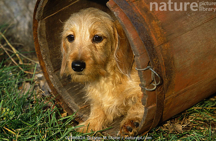 Wire haired dachshund, portrait in wooden barrel.  ,  CANIDS,CARNIVORES,CUTE,DOGS,PETS,PORTRAITS,VERTEBRATES  ,  Lynn M Stone
