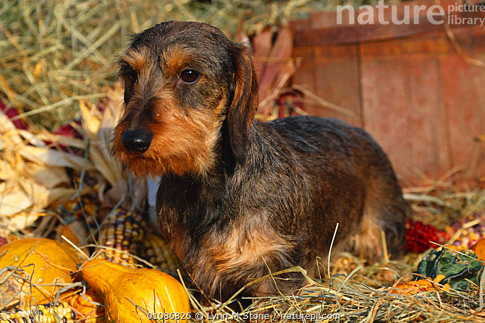 Wire haired dachshund  ,  BREEDS,CUTE,DACHSHUND,DOGS,LS,PETS,WIRE,CANIDS  ,  Lynn M Stone