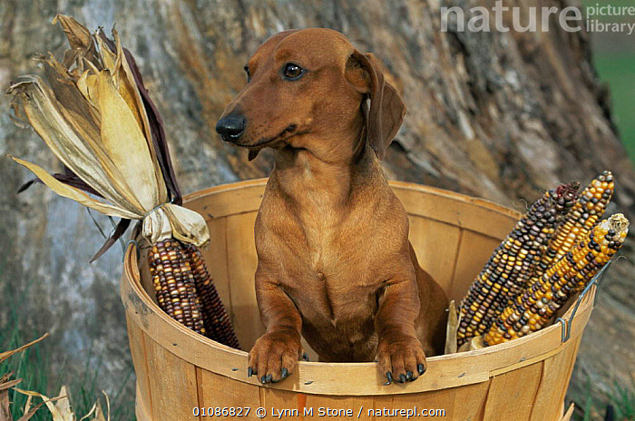 Smooth haired dachshund dog (Canis familiaris)  ,  CANIDS,CARNIVORES,CUTE,DOGS,Domestic,MAMMALS,PETS,PORTRAITS,VERTEBRATES  ,  Lynn M Stone