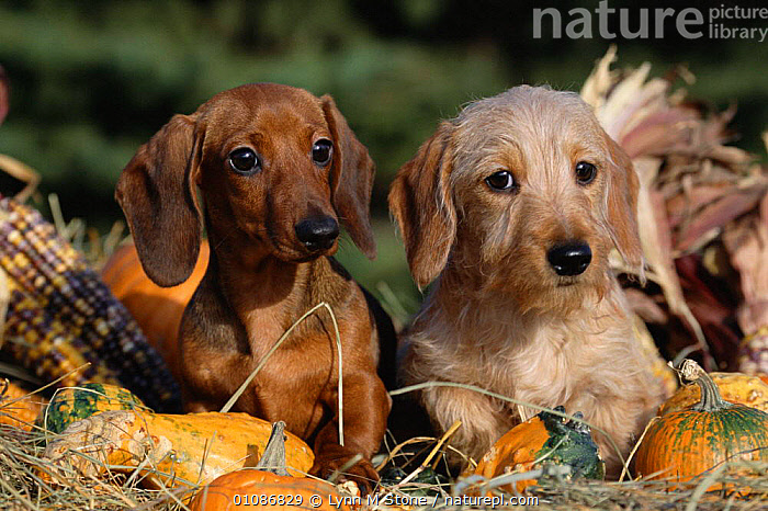 Dachshund dog puppies - smooth haired (left) and wire haired (right)  ,  BREED,CARNIVORES,CUTE,DACHSHUND,DACHSUND,HAIRED,LS,MAMMALS,PEDIGREE,PETS,PUPPIES,TWO,VARIATION,VARIETY,DOGS,CANIDS  ,  Lynn M Stone