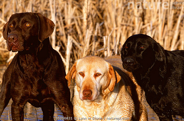 Three Labrador retriever dogs Chocolate / Brown, Golden and Black - breed colour variation  ,  BREEDS,CARNIVORES,COLOUR CHANGES,COLOURS,CUTE,GUNDOGS,MAMMALS,MORPHISM,PEDIGREE,PETS,VARIETY,WORKING,Dogs,Canids  ,  Lynn M Stone