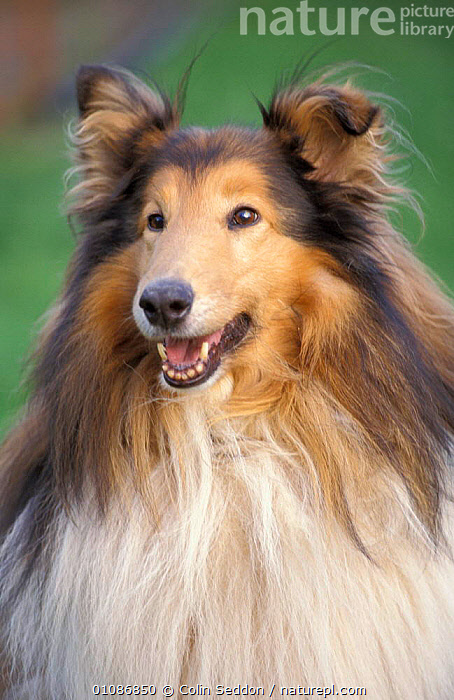 Rough collie dog head portrait {Canis familiaris} UK  ,  BREEDS,CARNIVORES,PEDIGREE,BREED,MAMMALS,PETS,DOGS,CANIDS  ,  Colin Seddon