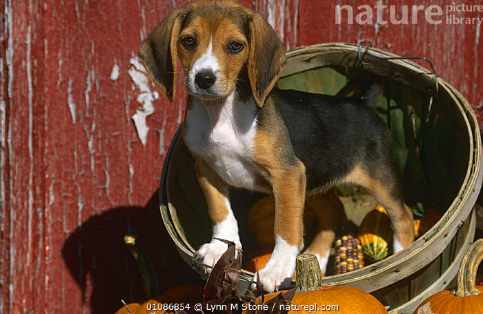 Beagle dog puppy {Canis familiaris}  ,  BABIES,CANIDS,CARNIVORES,CUTE,DOGS,JUVENILE,MAMMALS,PETS,PUPPIES,VERTEBRATES,YOUNG  ,  Lynn M Stone