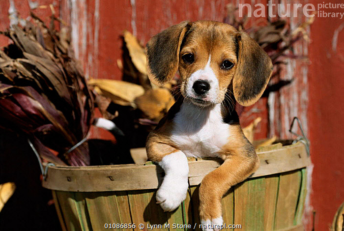 Beagle dog puppy {Canis familiaris}  ,  BEAGLE,BREED,CARNIVORES,CUTE,HORIZONTAL,JUVENILE,LS,MAMMALS,PETS,PUPPIES,PUPPY,DOGS,CANIDS  ,  Lynn M Stone