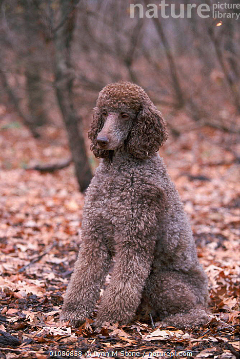 Standard poodle dog portrait {Canis familiaris} sitting USA  ,  BREED,CANIDS,CARNIVORES,DOGS,LS,MAMMALS,NORTH AMERICA,PEDIGREE,PETS,USA  ,  Lynn M Stone