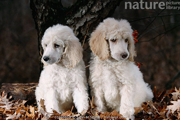Standard poodle dog puppies {Canis familiaris} USA  ,  BREED,CARNIVORES,CUTE,JUVENILES,LS,MAMMALS,PEDIGREE,PETS,POODLE,PUPPIES,PUPPY,TWO,WHITE,DOGS,CANIDS  ,  Lynn M Stone